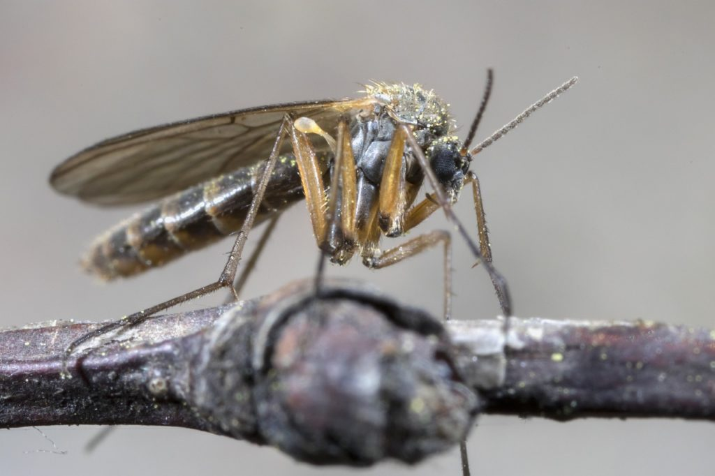 the mosquito, macro, insect